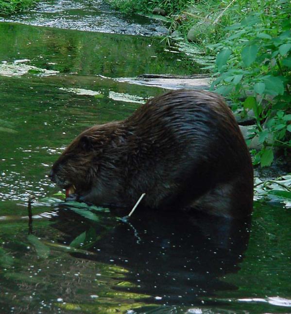 beaver picture.jpg