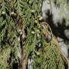 Alaska-cedar, Nootka-cypress