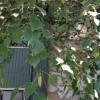 IMG_0477 european whie birch