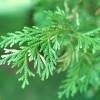 Deerhorn Cedar