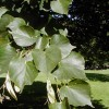 Little Leaf Linden