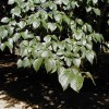 Smooth-Leafed Elm