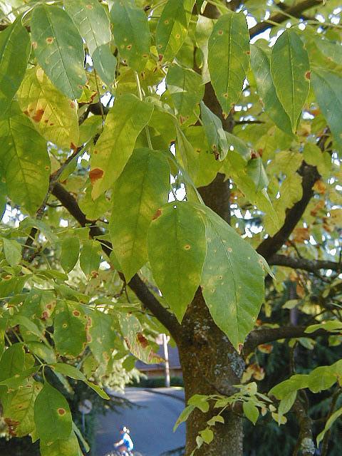 Oregon Ash Trees Of Reed