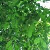IMG_0049 english elm