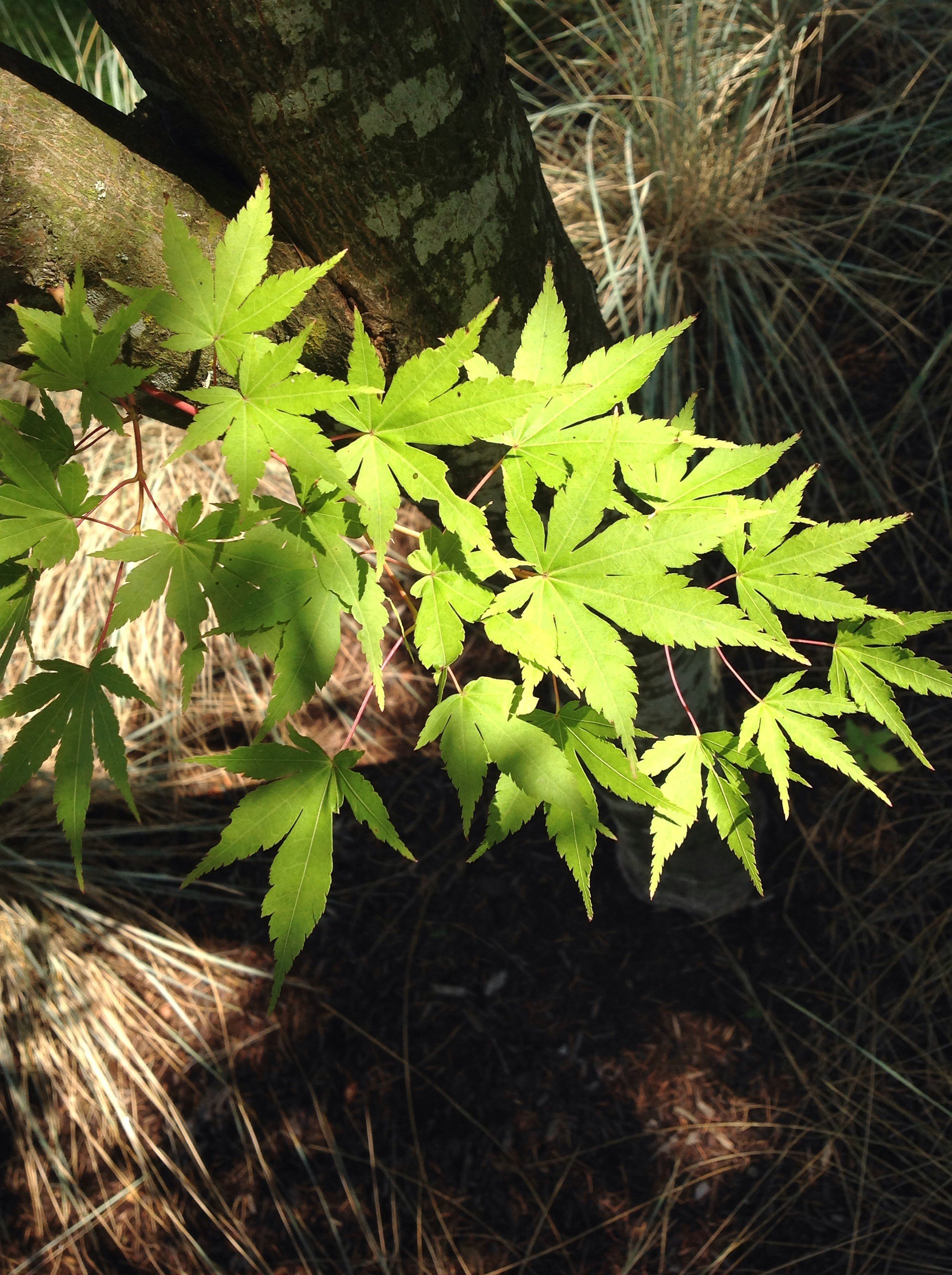 Japanese Maple Trees Of Reed