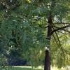 IMG_0373 english walnut