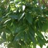 IMG_0505 chinese elm
