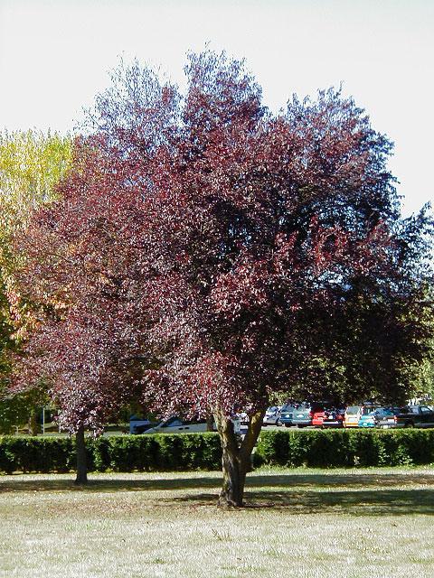 Cherries Plums Trees Of Reed