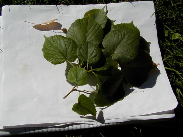 Big leaf linden trees of reed this is a deciduous tree with a dense compact crown it has small fragrant yellowish white flowers in drooping clusters the leaves from 2 5 inches long mightylinksfo