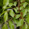 Allee Chinese elm