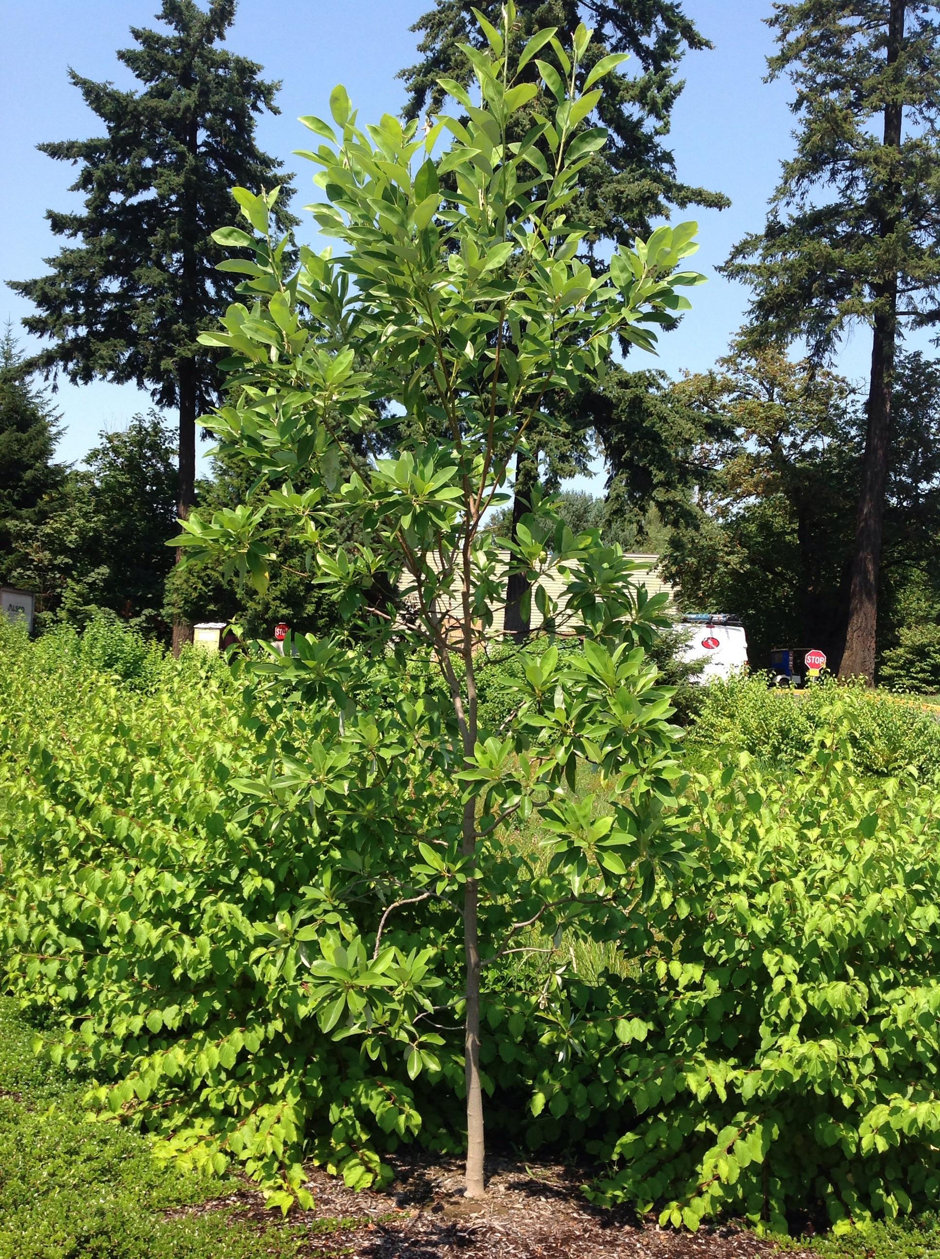 Magnolias trees of reed for Magnolia tree