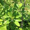 IMG_0193 moonglow magnolia