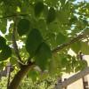 IMG_0394 dove tree