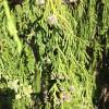IMG_0493 weeping alaskan cypress