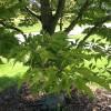 IMG_0442 fern leaf europen birch